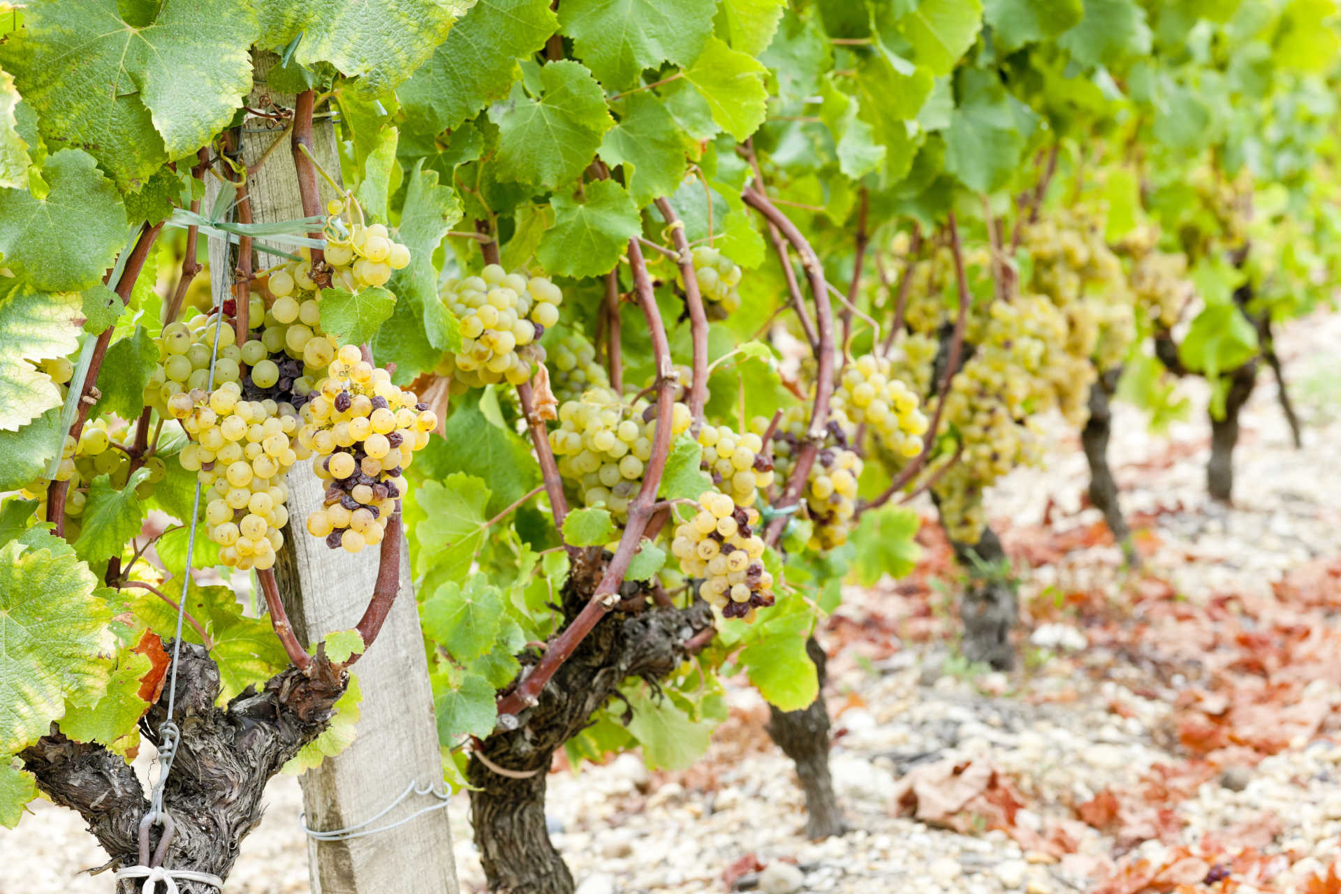 Image for Furmint content section