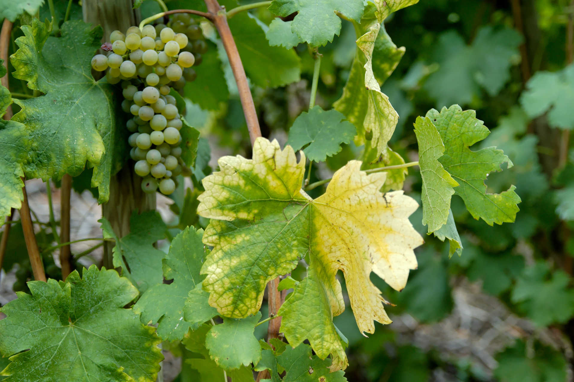 Image for Viognier content section