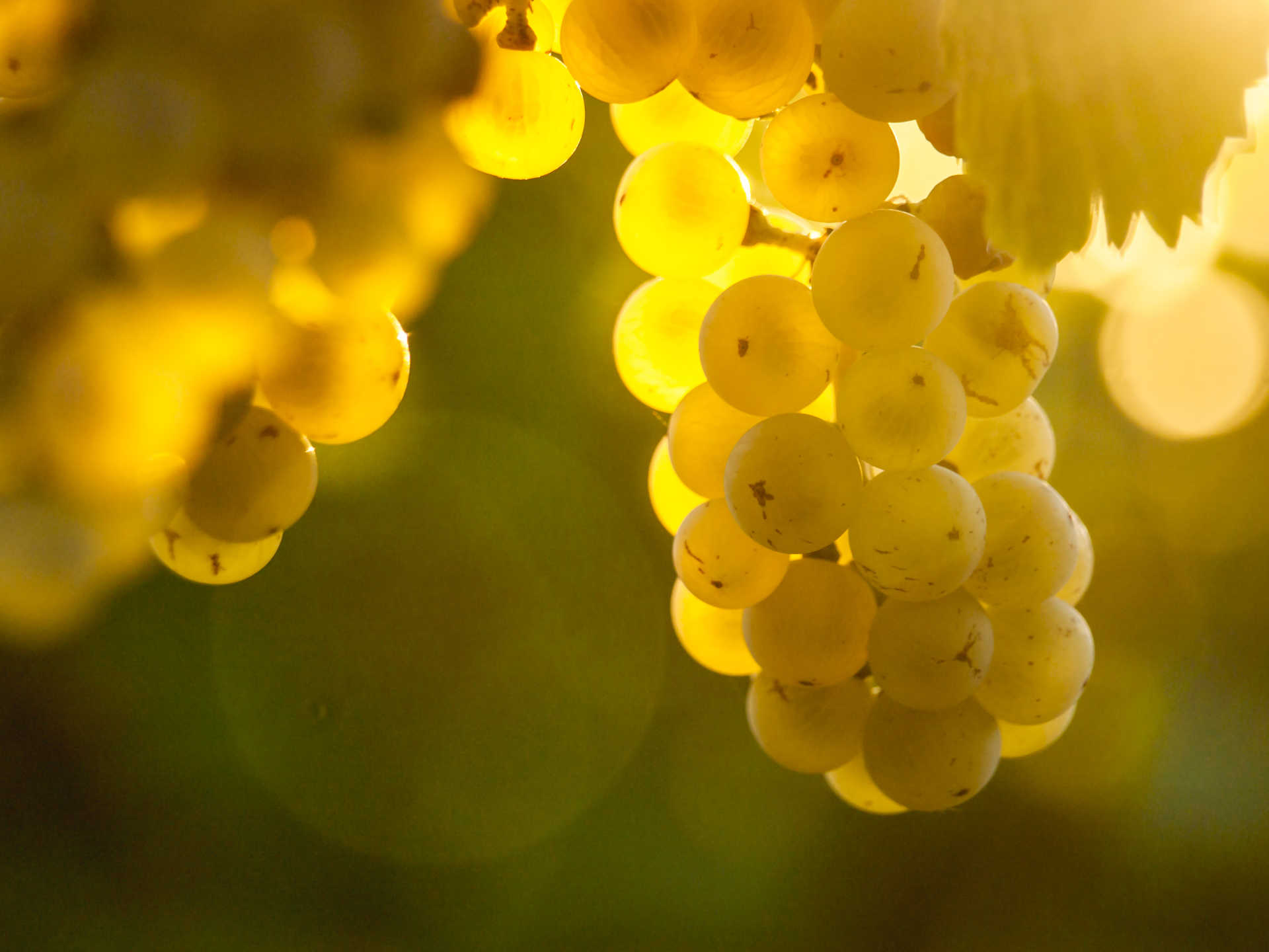 Image for Vermentino content section