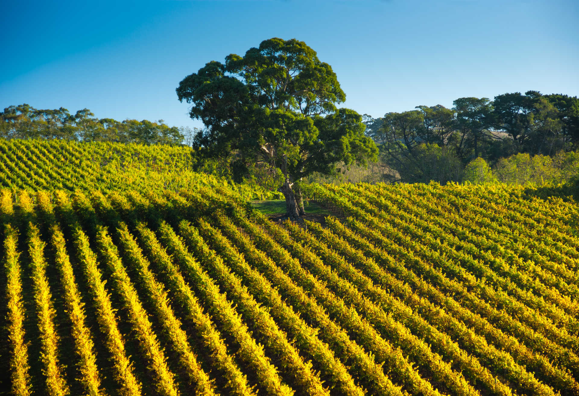Image for McLaren Vale content section