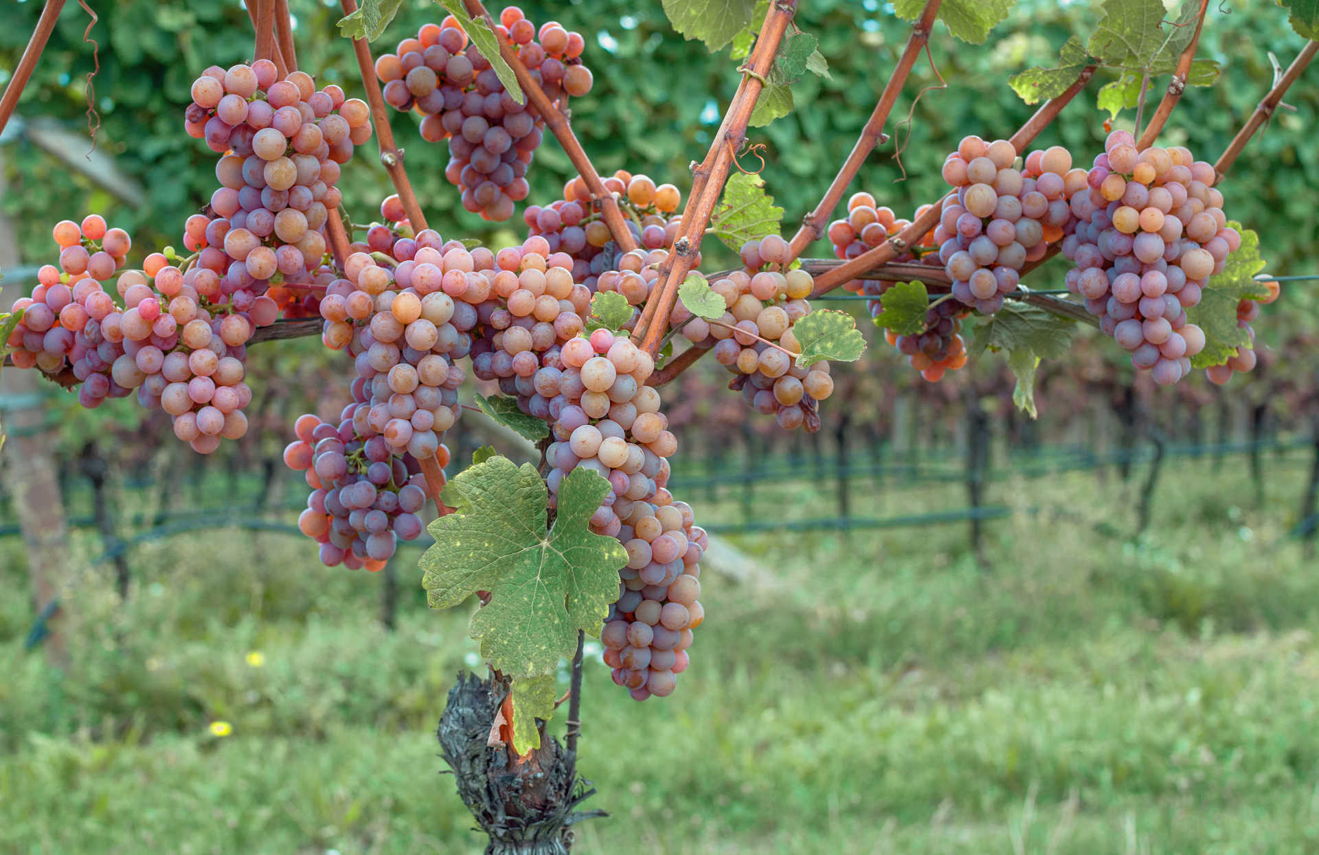 Image for Gewürztraminer content section