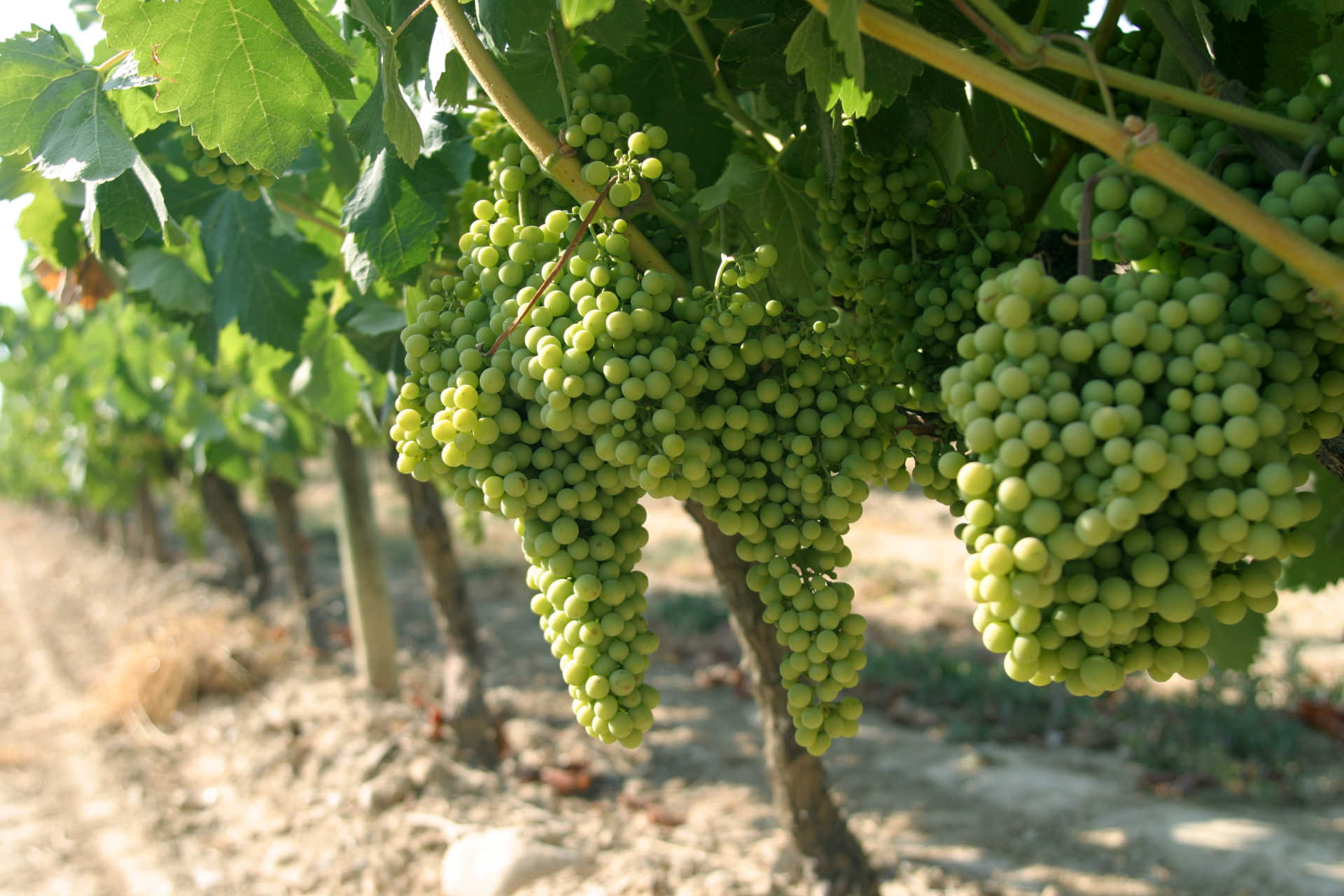 Image for Torrontes content section