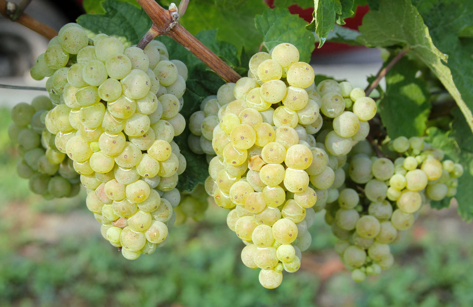 Image for Gruner Veltliner content section