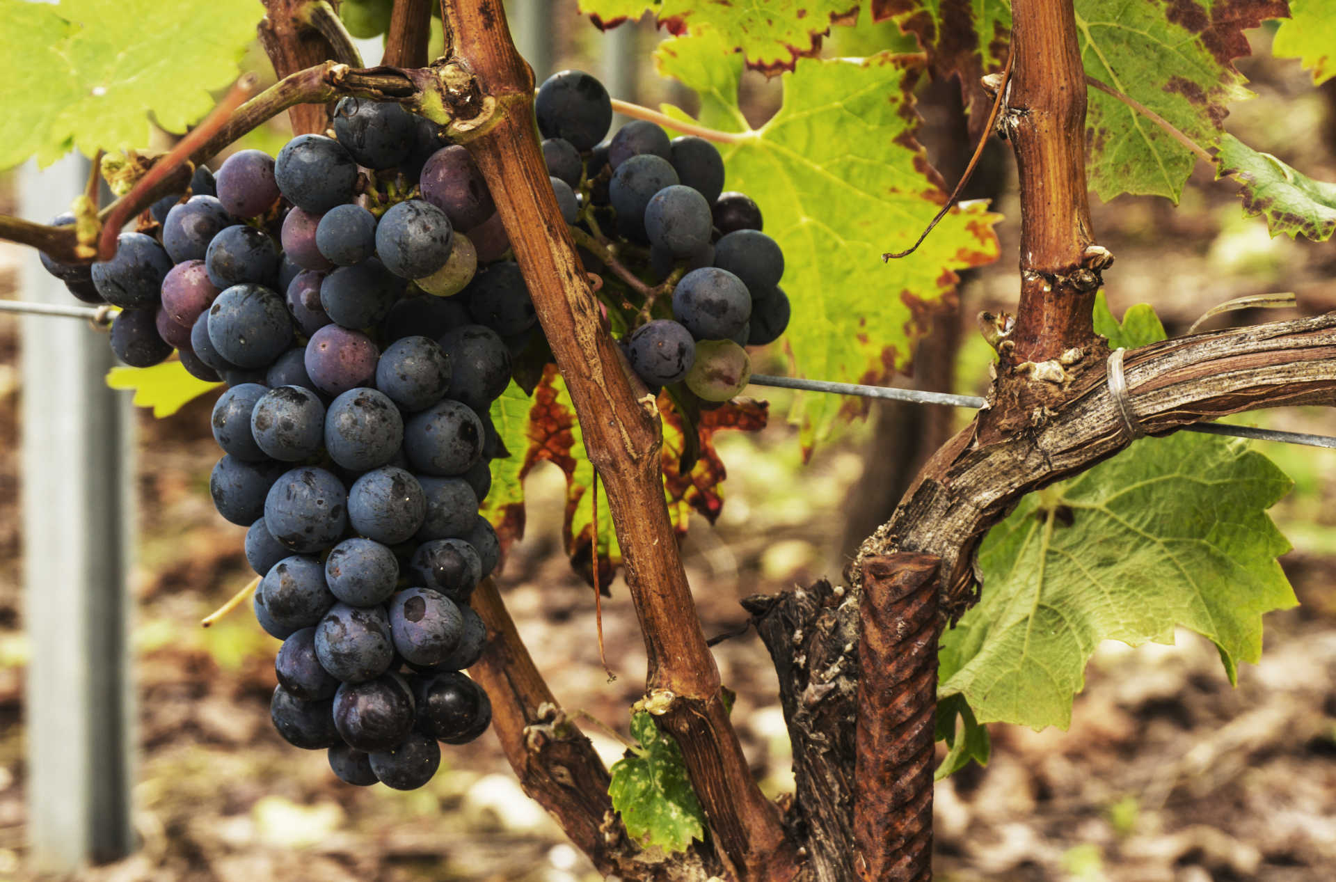 Image for Grenache content section