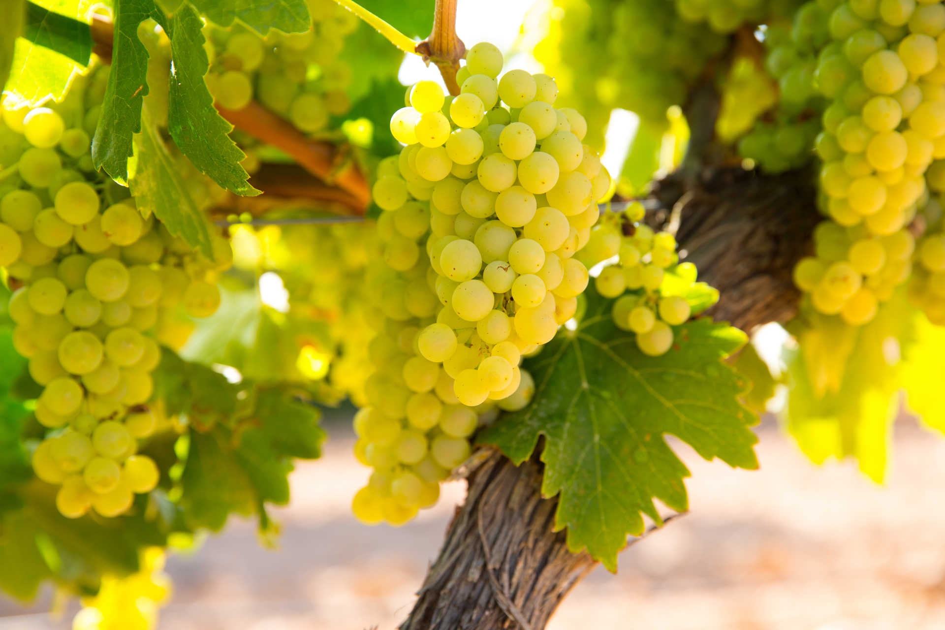 Image for Assyrtiko content section