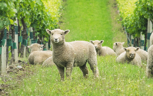 Image of Sheep Grazing Vineyards
