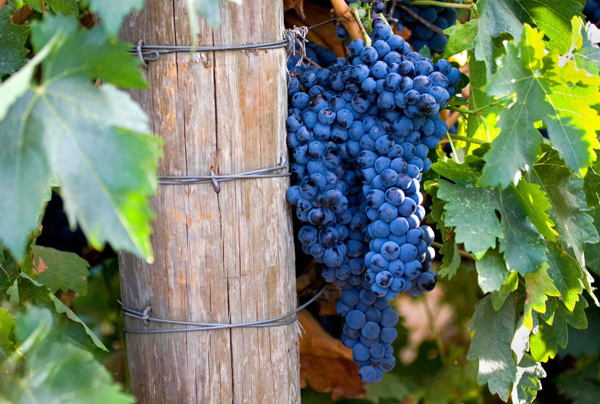 Image for Cabernet Franc Wine content section