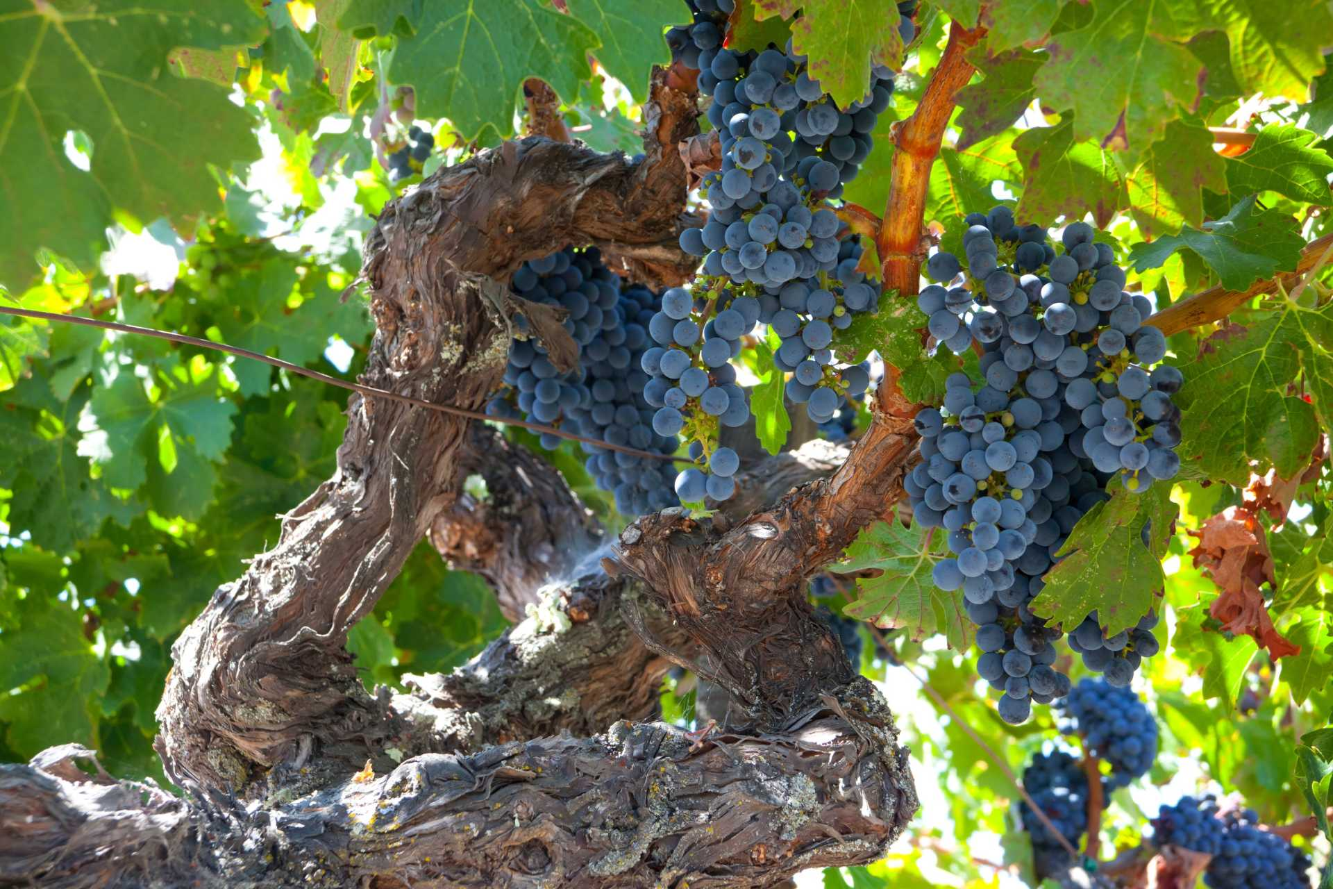 Image for Zinfandel content section