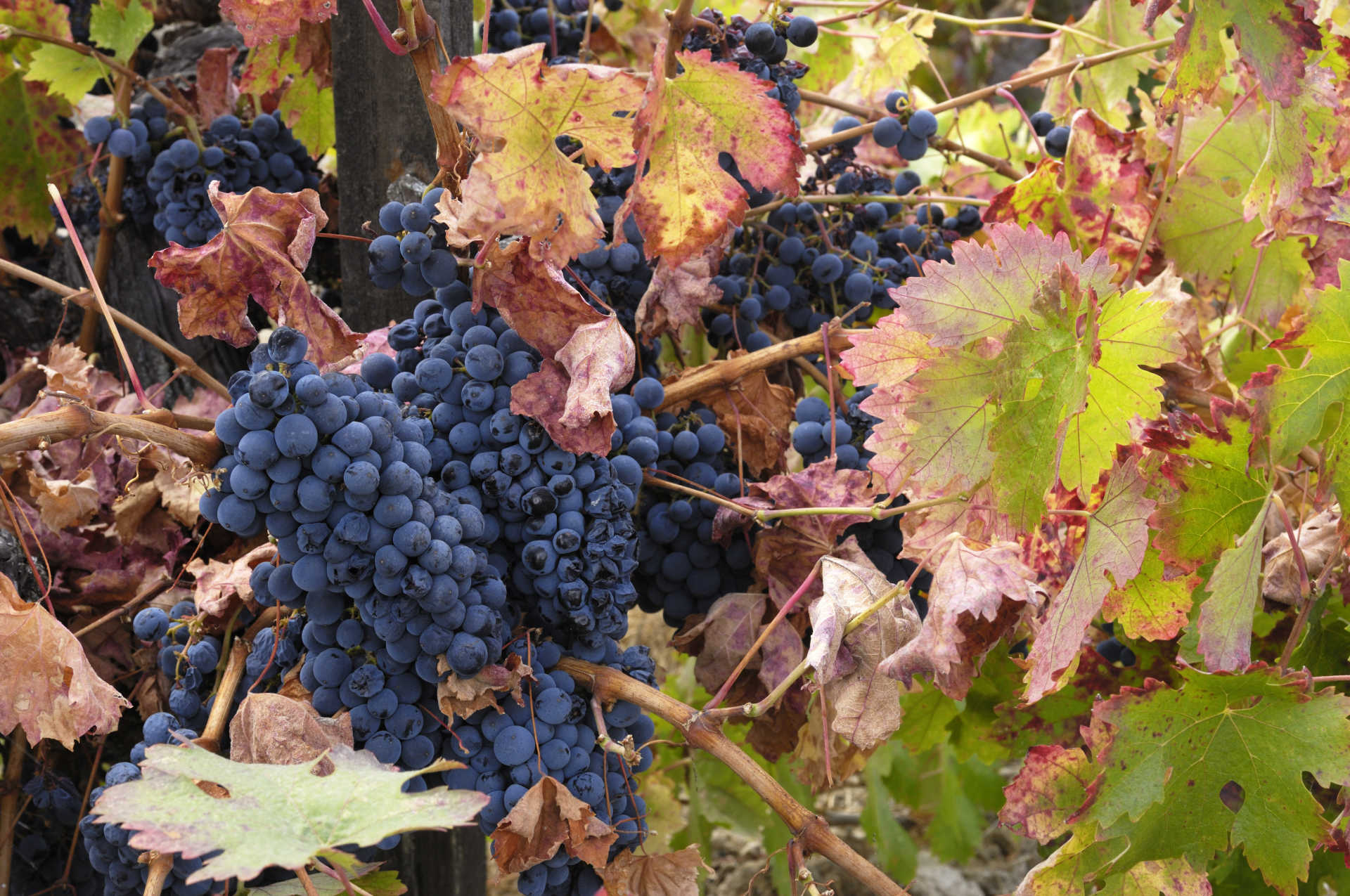 Image for Petite Sirah content section