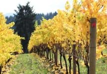 Apolloni Vineyards Apolloni Fall Vines Winery Image