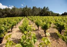 Mont Gravet 80-Year-Old Carignan Vines in Languedoc Winery Image