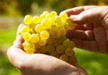 Laurenz V Gruner grape cluster Winery Image