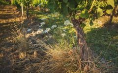 Giesen Dillons Point Vineyard Organic Vine Winery Image