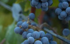 Hourglass Cabernet Grapes Ready to Harvest Winery Image