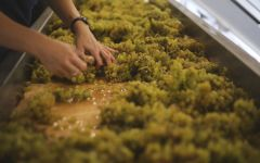 Gary Farrell Hand sorting Chardonnay during crush  Winery Image
