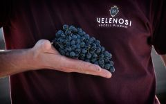 Velenosi Harvest 2018—Montepulciano Grapes Winery Image