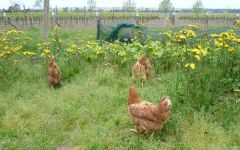 Loveblock Chickens in the vineyard Winery Image
