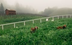 Abreu Vineyards Animals in the Madrona Vineyard Winery Image