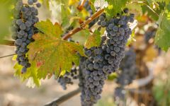 Merryvale Vineyards Harvest at the Estate Winery Image