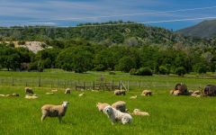 Vigilance Sheep Grazing in the Field. Winery Image