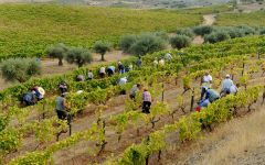 Altano Picking Grapes at Harvest Winery Image