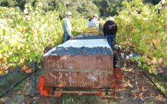 The Counselor Harvest at The Counselor Winery Image