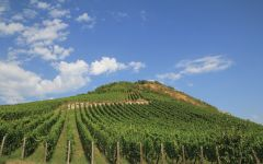 Zind-Humbrecht Riesling Vines at Heimbourg Winery Image