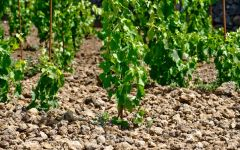 Pietradolce New Plantings of Nerello Mascalese  Winery Image