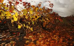 Elderton Autumn Vineyard Winery Image