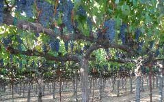 Stickybeak Cabernet Sauvignon Vines Winery Image