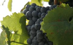 Arrogant Frog Mourvedre Grapes Winery Image
