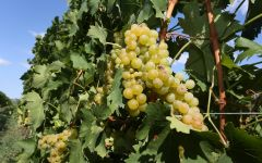 Saracco Moscato Grapes Winery Image