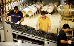 Rodney Strong Vineyards Hand Sorting Grapes at Harvest Winery Image