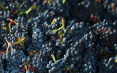 Brittan Hand-Harvested Pinot Noir Grapes Winery Image