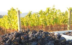 Apolloni Vineyards Apolloni Pinot Harvest Winery Image