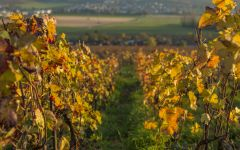 Champagne Nicolas Feuillatte Nicolas Feuillatte Vineyards in Autumm Winery Image