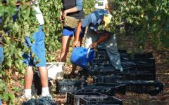 Mitolo Handpicking Cabernet Winery Image
