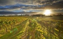 Leeuwin Estate Leeuwin Vineyard at Sunrise  Winery Image