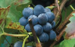 Michele Chiarlo Nebbiolo Grapes Winery Image
