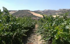 Alexakis Vineyard before harvest Winery Image
