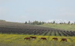 Yarden Horses Graze on the Yarden Property Winery Image