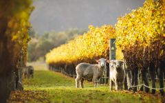Whitehaven  Winter Grazing - Sheep at Narrows Vyd Winery Image
