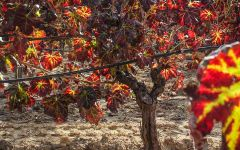 Argiolas Autumn in Sardinia at Argiolas Winery Winery Image