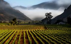 Au Bon Climat Bien Nacido Vineyard, Central Coast, CA Winery Image