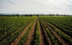 Carneros Highway Sangiacomo Vella Vineyard Carneros Winery Image