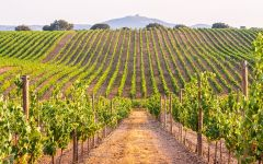 Allure California Vineyards for Allure Winery Image