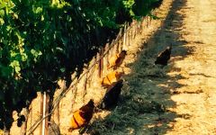 Ampelos Cellars Chickens Providing Pest Control Winery Image