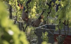 Chateau Palmer Hand Harvesting Winery Image