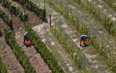 Saracco Arial View of Work in the Vineyards Winery Image