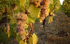 Domaine des Baumard Chenin Blanc Grapes Winery Image